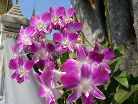 Майский Тайланд - орхидеи