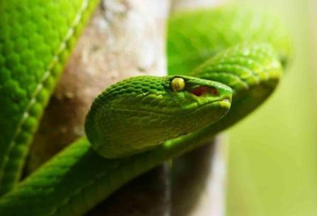 Ядовитые змеи Тайланда