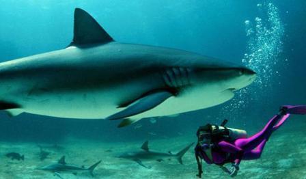 Дайвинг и акулы на Пхукете