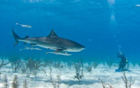 Дайвинг с акулами на Пхукете. Цены на дайв-туры и дайв-сафари