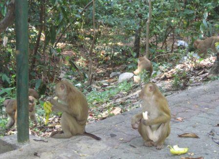 Гора обезьян на Пхукете - Monkey Hill вход бесплатный
