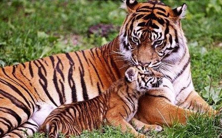 Королевство тигров на Пхукете - Tiger Kingdom Phuket