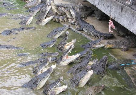 Крокодиловая ферма на Пхукете цены