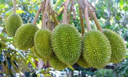 Почему нельзя вывозить дуриан из Тайланда