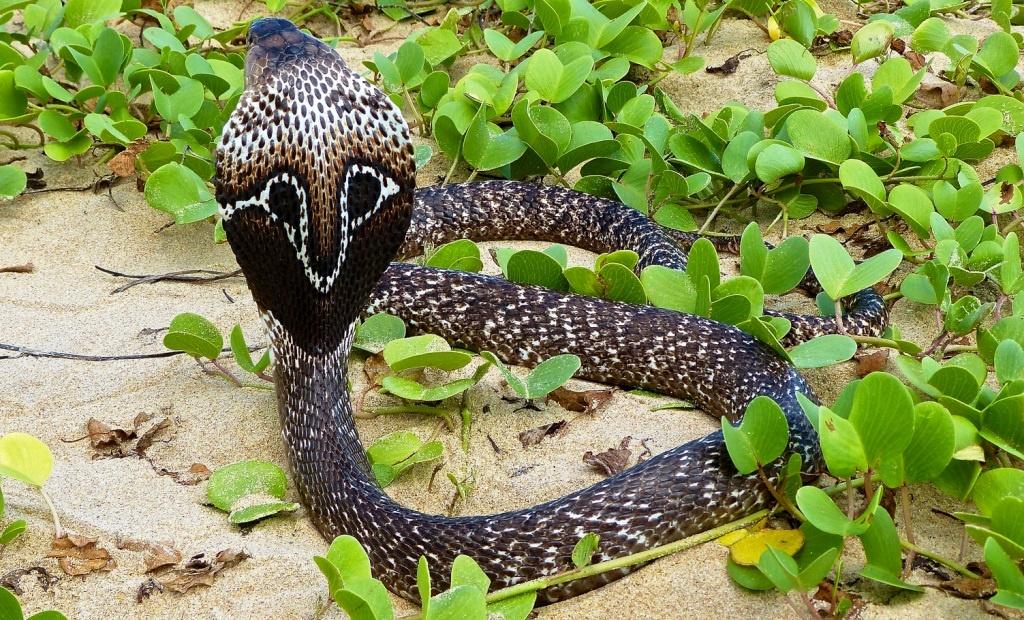 Индийская очковая кобра в Лаосе