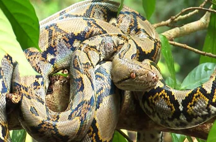 Змея сетчатый питон