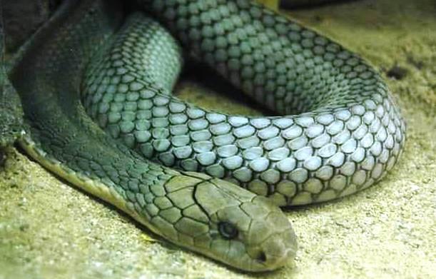 Лаосская змея гамадрид