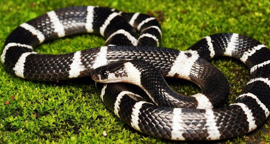 Змея Лаоса - крайт