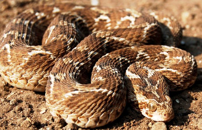 Змея каменистый щитомордник