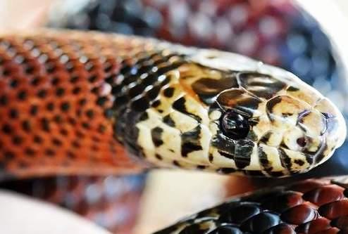 Змеи Южной Кореи: узорчатый полоз