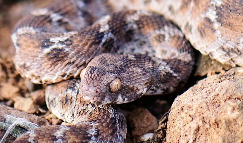 Ядовитые змеи Монголии: все о рептилиях