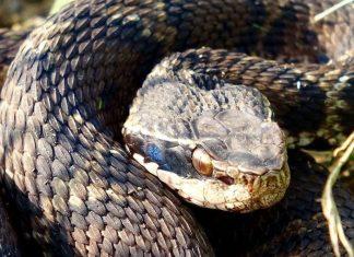 Змеи Южной Кореи: неядовитые и ядовитые рептилии страны