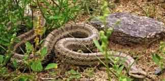 Змеи Монголии: неядовитые и ядовитые виды монгольских рептилий